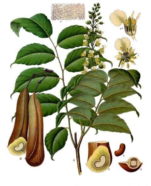 Balsam of peru plant By Franz Eugen Köhler, Köhler's Medizinal-Pflanzen